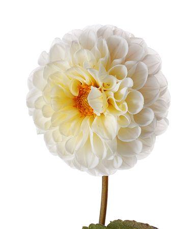 white georgina isolated on white background Stock Photo - 2137568