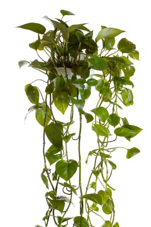plant  growing in hanging pot isolated on white Stock Photo - 2314578