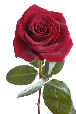 long stem roses: dark red rose isolated on white Stock Photo