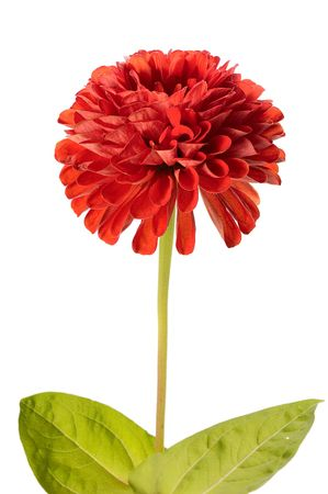 red zinnia isolated on white background