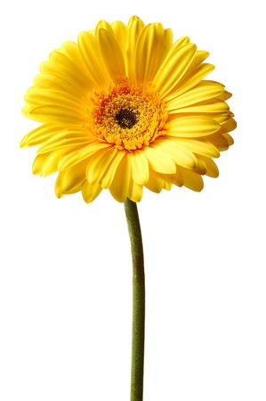 yellow gerbera isolated on white background