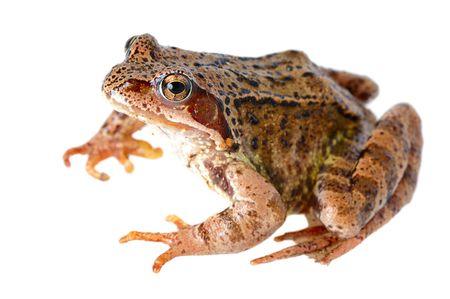 frog isolated on white photo