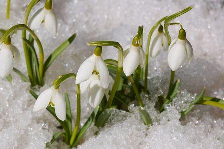 snowdrops on snow photo