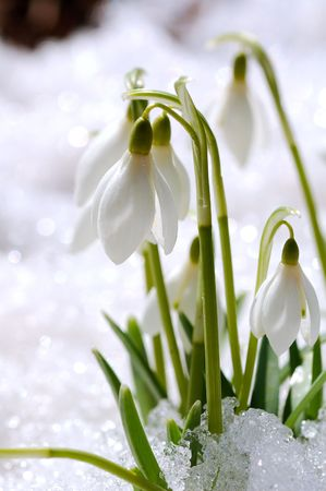 snowdrops on snow photo