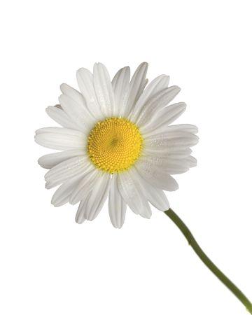pétalas: daisy isolado no fundo branco