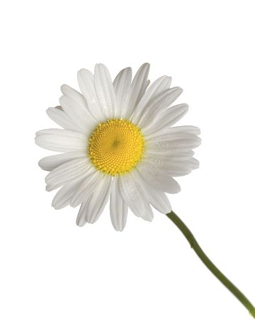 yellow daisy: daisy isolated on white background Stock Photo