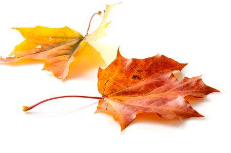 senescence: autumn leaves isolated on white Stock Photo