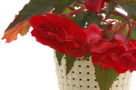 blooming red begonia in pot isolated on white photo