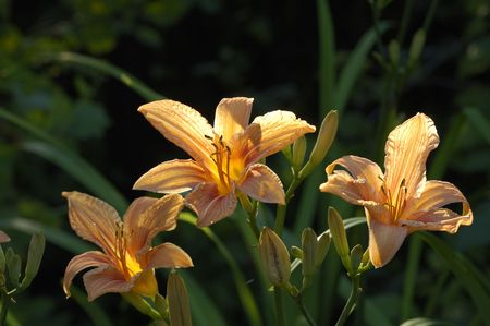 tiger lily Stock Photo - 3248023
