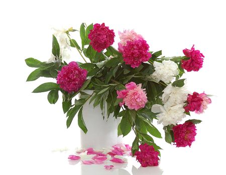 bunch of red, pink, white peonies isolated on white Stock Photo