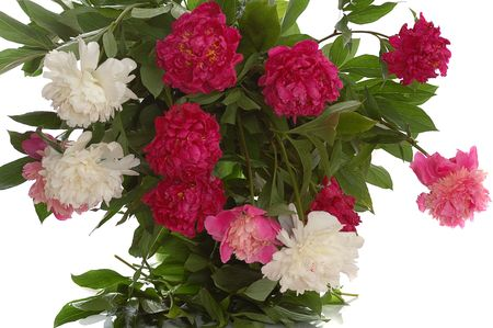 big bunch of colorful peonies isolated on white photo
