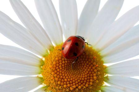 ladybird  on daisy Stock Photo - 3439165