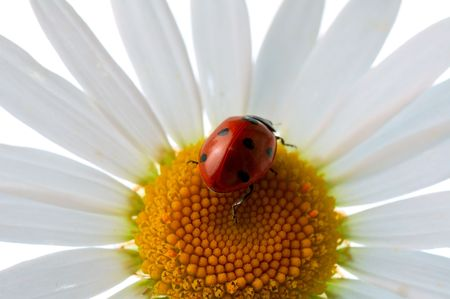 ladybird  on daisy Stock Photo - 3439165