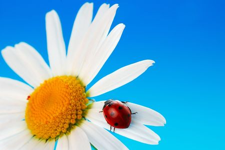 ladybird  on daisy on blue background Stock Photo - 3439168
