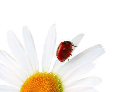 ladybird  on daisy isolated on white Stock Photo - 3439158