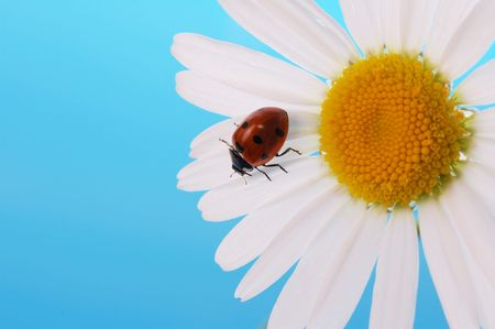 ladybird  on daisy on blue background photo
