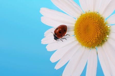 ladybird  on daisy on blue background Stock Photo - 3439146