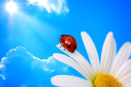 ladybird  on daisy photo
