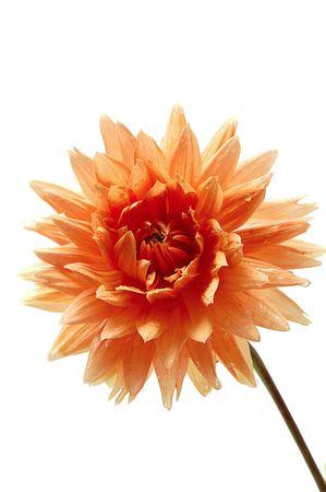 georgina: single flower of georgina on white Stock Photo