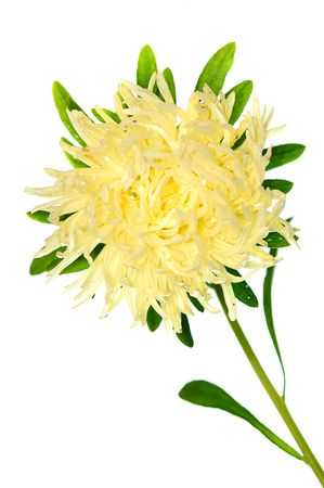 georgina: pale yellow asterisolated on white background Stock Photo