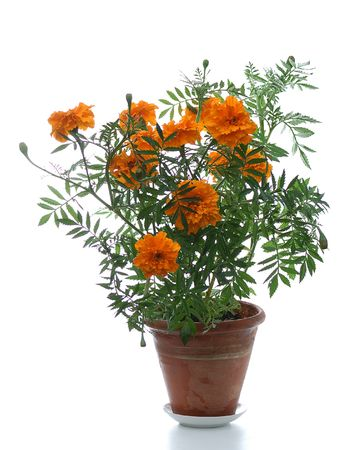 belladonna: blooming marigold in pot on white background