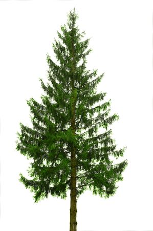 single tree  fir isolated on white Stock Photo - 3588532