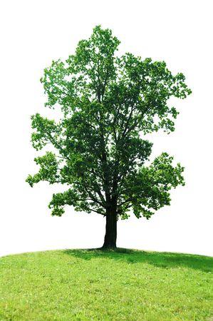 single tree oak isolated on white Stock Photo - 3588536