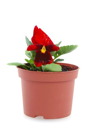 blooming flower in pot isolated on white Stock Photo - 3696743