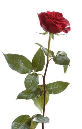 entire: high red rose isolated on white background