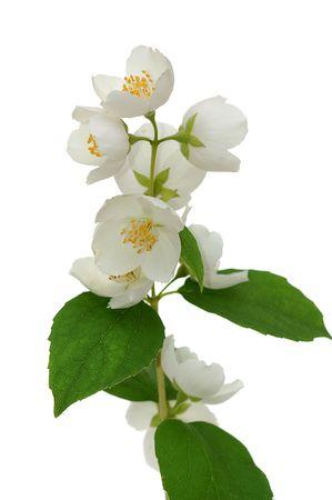 ramoscello di fioritura jasmin isolato su sfondo bianco