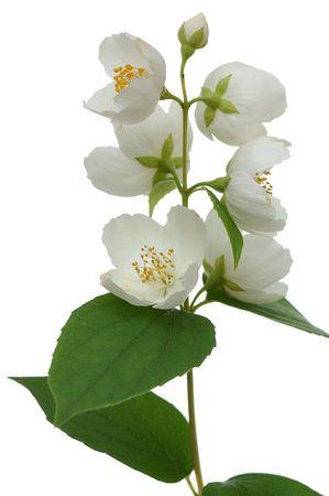 ramoscello di gelsomino che fiorisce isolato su sfondo bianco