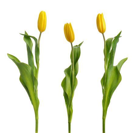 tulipani gialli isolati on white Archivio Fotografico