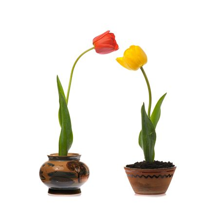 caulis: potted yellow and red tulips  isolated on white Stock Photo