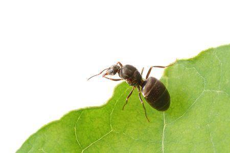 hormiga hoja: hormigas caminando a trav�s de hoja verde Foto de archivo