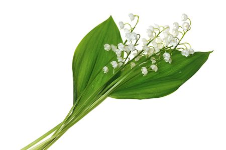 lily of the valley isolated on white background Stock Photo - 5031838