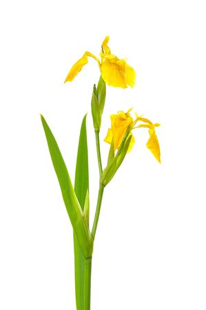 long stem yellow iris isolated on white photo