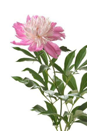 long steam flower of pink peony with leaves on white background photo