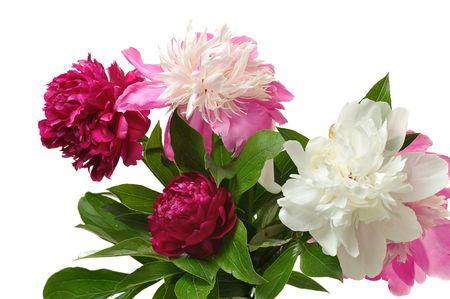 bunch of colorful peony on white background photo