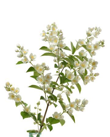 lordo fioritura ramo di gelsomino isolato su sfondo bianco Archivio Fotografico