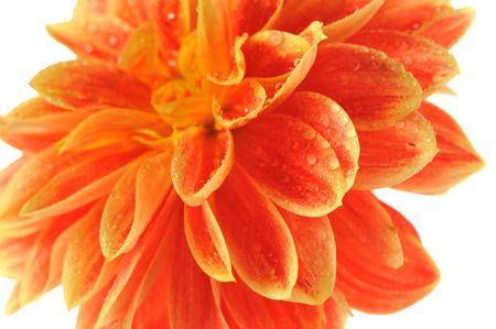 georgina:  flower of georgina close up on white