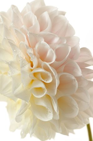 georgina: white flower of georgina macro Stock Photo