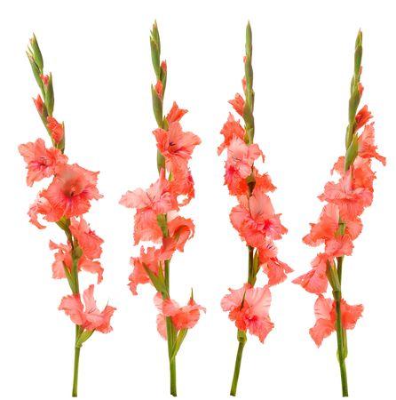 gladiolus: pink gladiolus isolated on white background