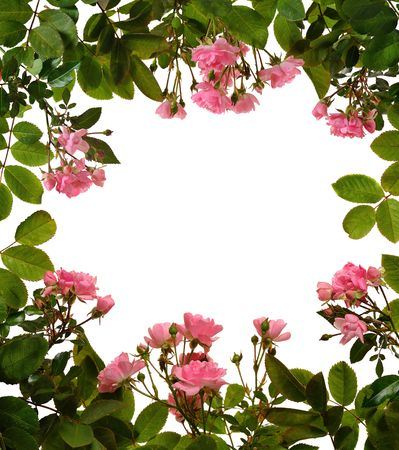 frame of pink small roses on white Stock Photo - 5715709