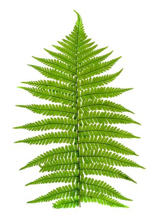 figured green leaf of fern isolated on white