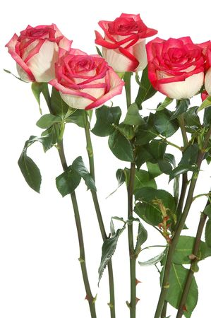bunch of long stem roses isolatd on white photo