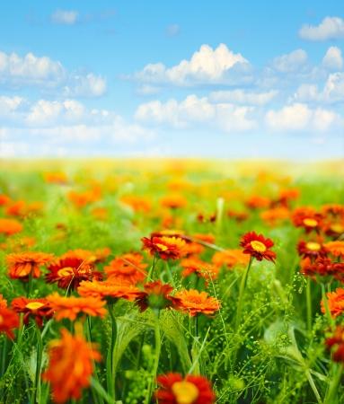 champ de fleurs contre le ciel bleu avec nuages