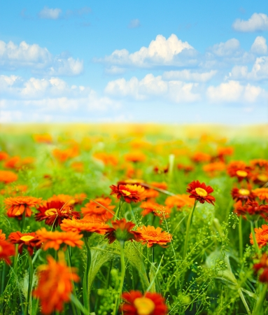 field of  flowers against blue sky with clouds