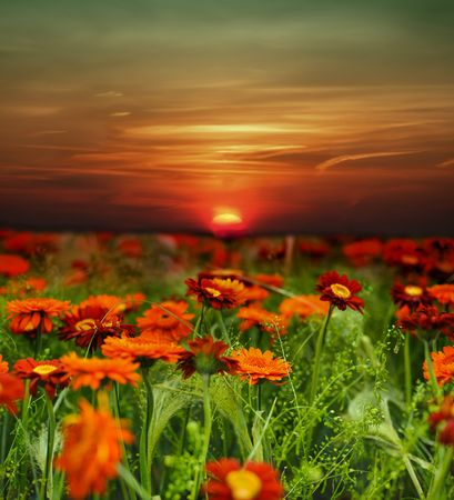 red sunset: sunset flower field Stock Photo