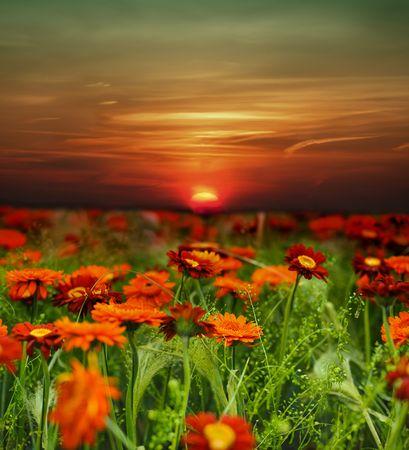 sunset flower field Stock Photo - 6840405