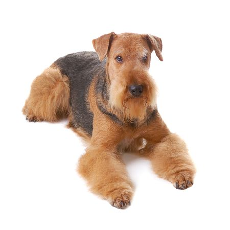 willing:  pureblooded dog Airedale isolated on white background